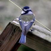 Sikorka Modra