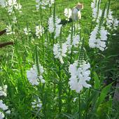 w moim ogrodzie wciąż biało ...