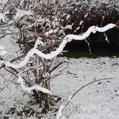 Wąż śnieżny