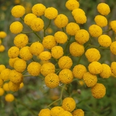 żółte pomponiki