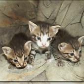 A, A, A Kotki Trzy