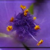 fioletowych snów