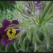Kwiat sasanki.