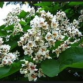 Kwiaty drzewa fasolowego.