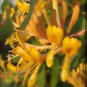 Kwiaty Wiciokrzewu