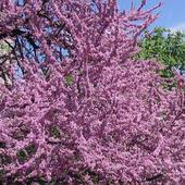Kwitnące drzewa - Judaszowiec