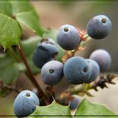 mahoniowe jagódki