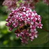 Pszczółka W Maju