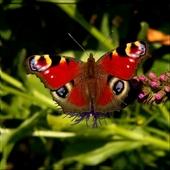 Walentynkowy Motyl