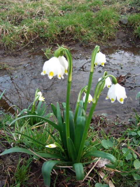 Sniezyca wiosenna:)