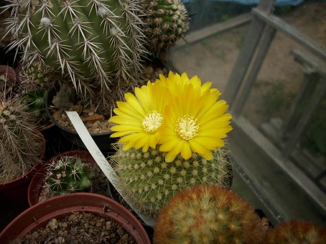 Tak kwitną kaktusy