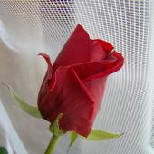 Pączek różany