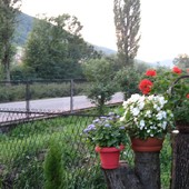 Trio-żeniszek,begonia,krakowiak