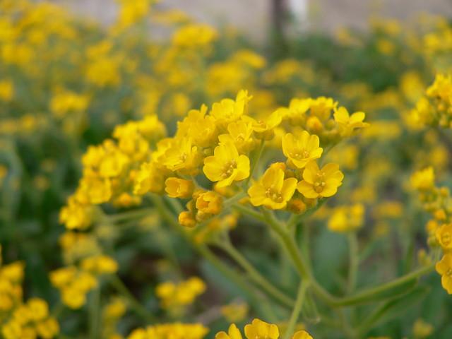 Żółto od smagliczki