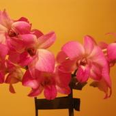 Dendrobium phalaenopsis  z bliska