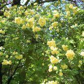 rosa banksiae(Chiny)