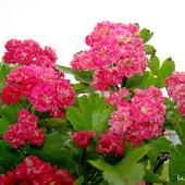 Głóg różowy
