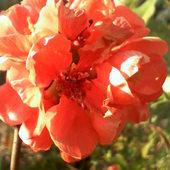 Kwiat pigwowca.