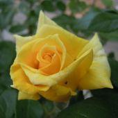 kwitna roze