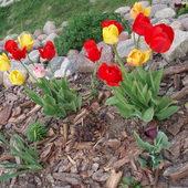 Mix tulipanowy