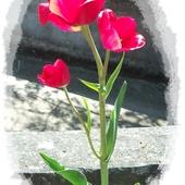 Potrójny tuliś