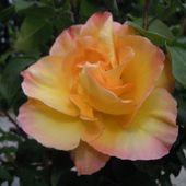 roza pieknie pachnaca