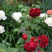 roze i piwonie