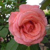 roze pnace