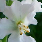 Też fioletowa, choć biała