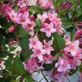 wajgela rozowa