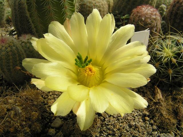 c.d kaktusów