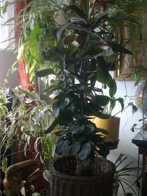 polyscias branch