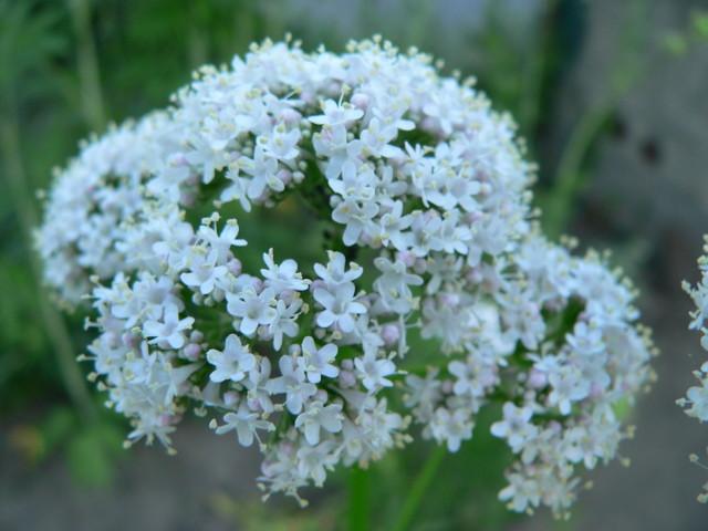 Walerianowe kwiatuszki