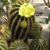 c. d. Kaktusów