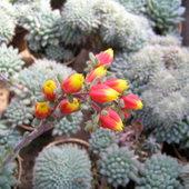C.d. kaktusów