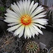c.d.kaktusów