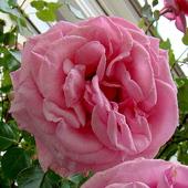I jeszcze tą różę dla Was przywiozłam:)