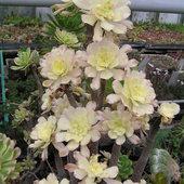 Kaktus z hodowli z Rumi
