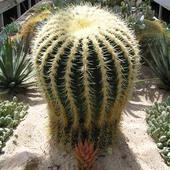 Kaktus z hodowli