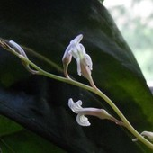kwiat haworsji