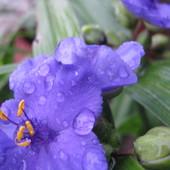 Kwitną trzykrotki