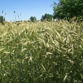 Mieszanka zbóż