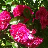 Moje róże