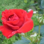Niedzielne róże:)