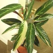 Stromanthe tricolor