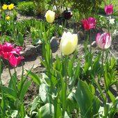 tulipany  moje ;D