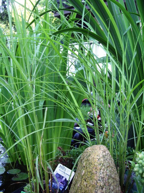 Miscanthus sinensis miskant chiński