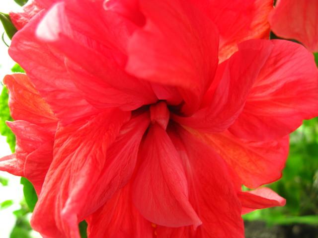 zakręcony hibiskus