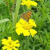 Dzisiaj odwiedził moje kwiatki taki motylek:)