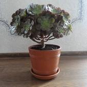 Eonium drzewiaste
